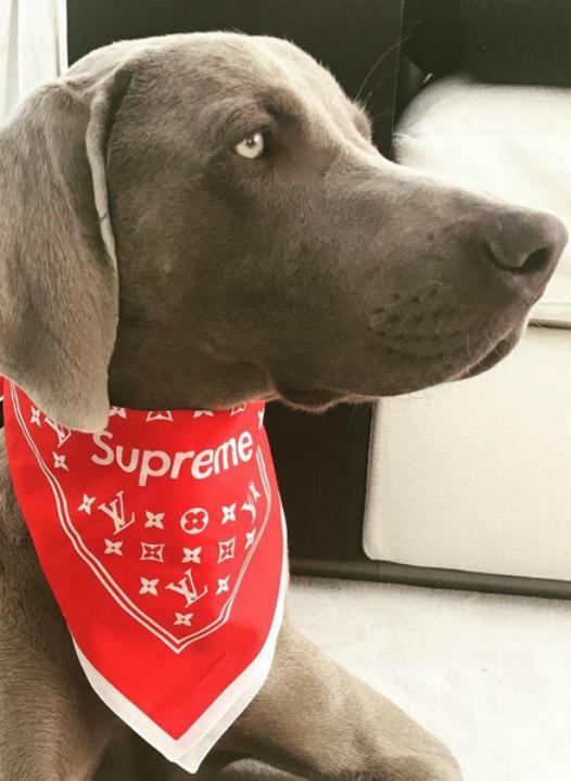 El exorbitante precio del pañuelo que usa el perro de Wanda Nara